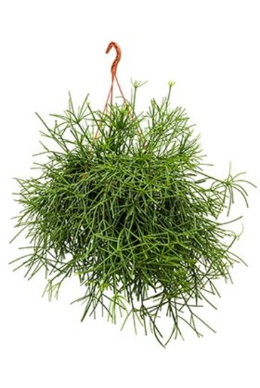 Rhipsalis Neves Armondii Hangplant