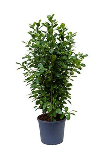 Ficus Moclame - Vijgenboom