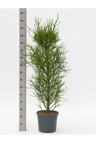 Euphorbia Tirucalli - Potloodplant