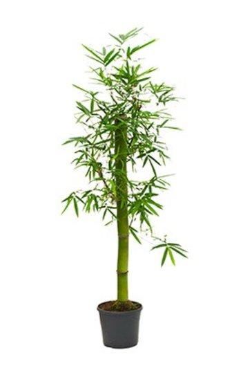Bambusa Groen - Bamboe