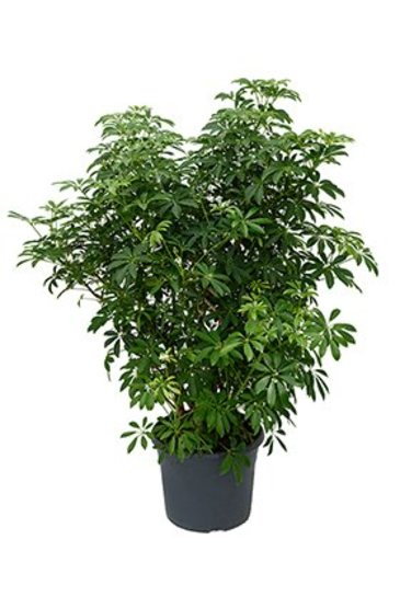 Schefflera Louisiana - Vingersboom