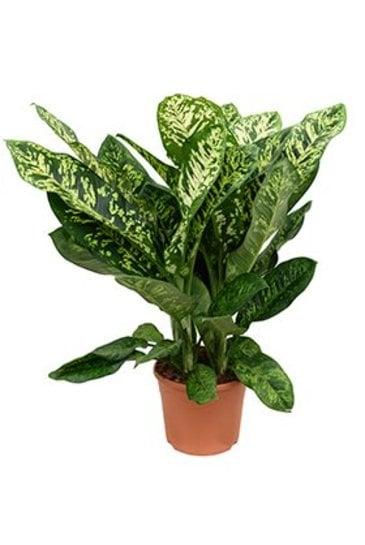Dieffenbachia Crown - Dumb Caneplant