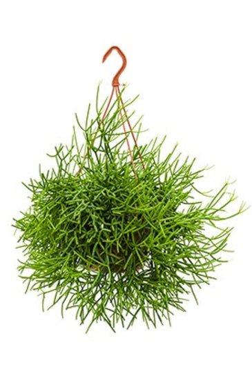 Rhipsalis Heteroclada - Koraalcactus