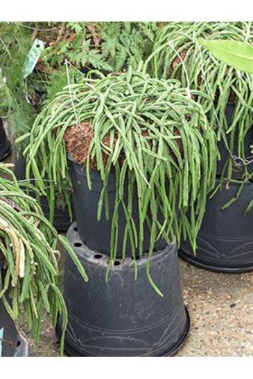 Rhipsalis Plano - Koraalcactus