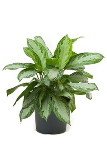 Aglaonema Silver Bay - Chinese Evergreen