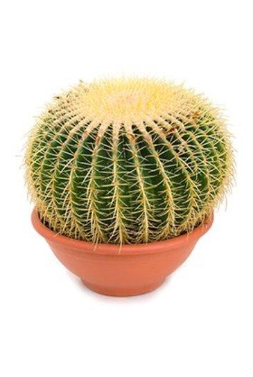 Cactus Echinocactus grusonii - Schoonmoederstoel