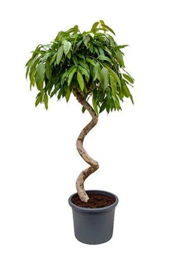 Ficus Amstel King - Vijgenboom