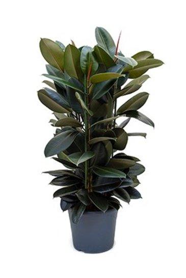 Ficus Elastica Abidjan - Vijgenboom
