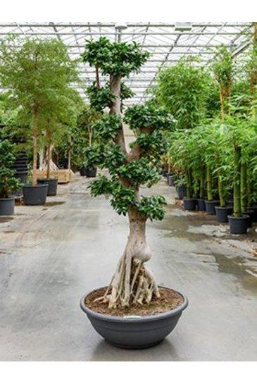 Ficus Microcarpa Compacta - Bonsai