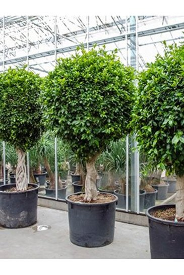Ficus Nitida - Vijgenboom