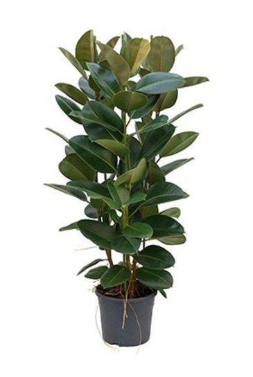 Ficus Robusta - Vijgenboom