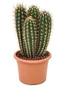 Cactus Pilocereus Gounelli