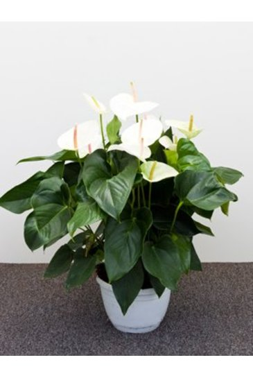 Anthurium Sumi Flamingoplant