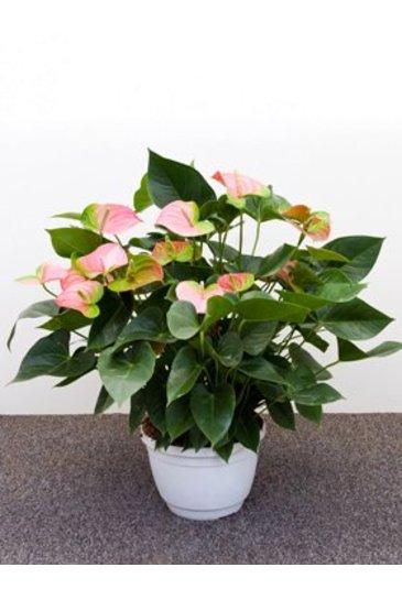 Anthurium Pandola Flamingoplant