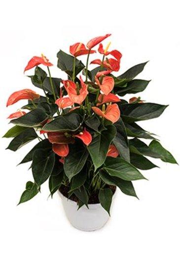Anthurium Matiz Flamingoplant