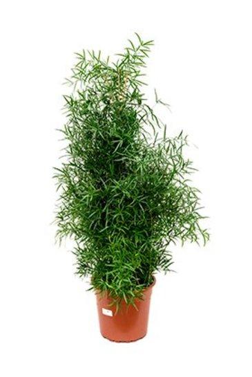 Asparagus Falcatus