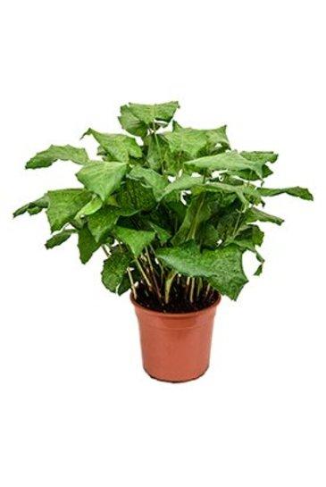 Calathea Network - Pauwenplant