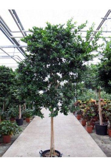 Ficus Fibrosa - Vijgenboom