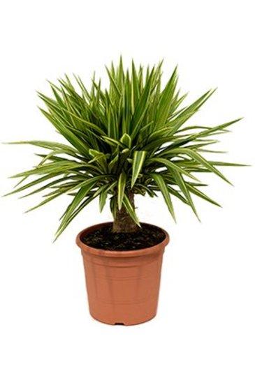 Yucca Jewel - Palmlelie