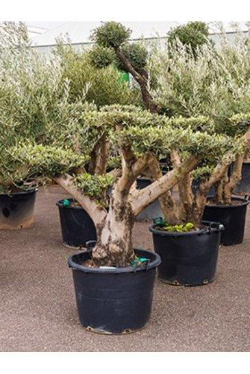 Olijfboom Olea europaea - Olijvenboom