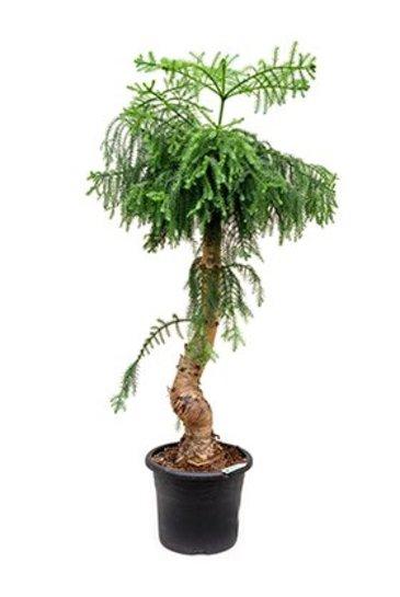 Araucaria Cunninghamii - Puzzle Tree