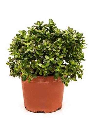Crassula Ovata minor - Jadeplant