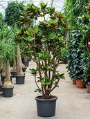 Croton Codiaeum petra