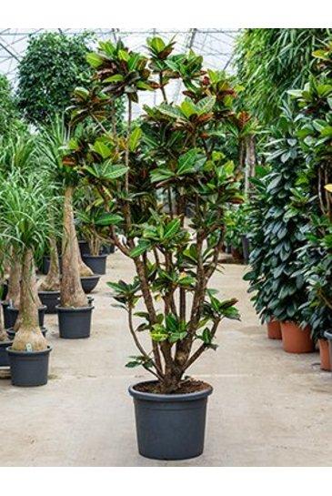 Croton Codiaeum petra - Wonderstruik