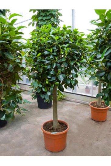 Ficus Australis - Vijgenboom