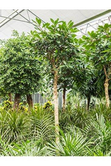 Ficus Cyathistipula - Vijgenboom