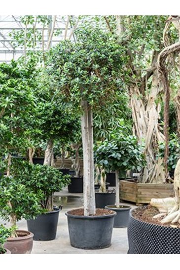 Ficus Panda - Vijgenboom