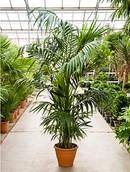 Palm Kentia Howea