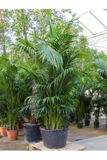 Palm Kentia Howea - Forestiana