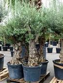 Olijfboom Olea europaea