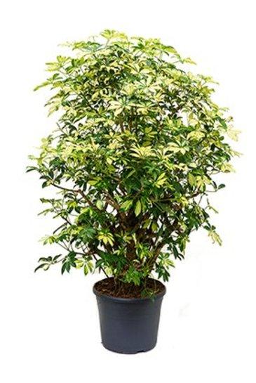 Schefflera Trinette - Vingersboom