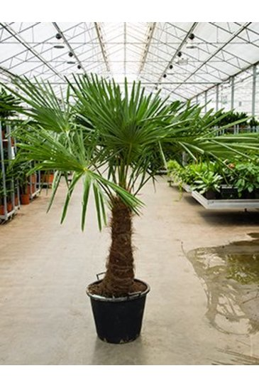 Palm Trachycarpus Fortunei - Hennep palm