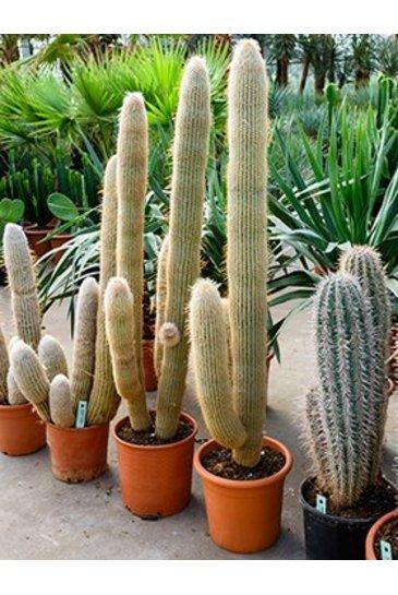 Cactus Espostoa Lanata - Wolcactus