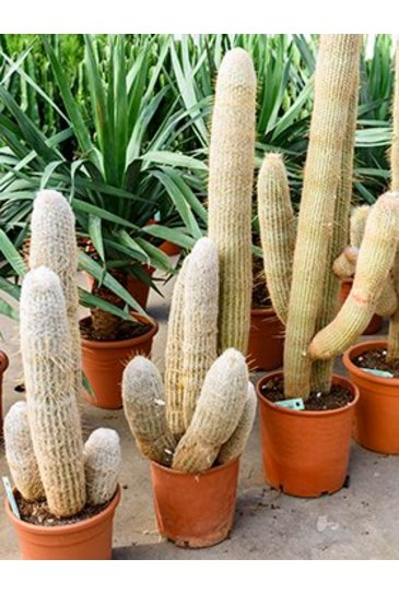 Cactus Espostoa Melanostele