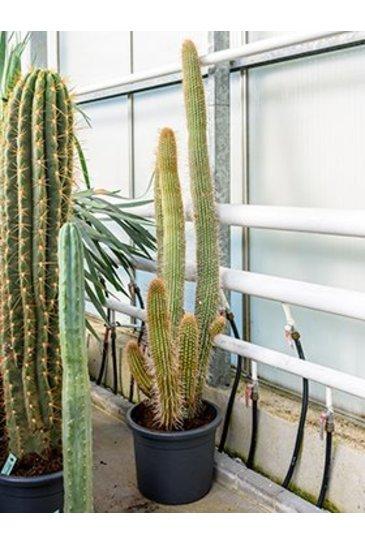 Cactus Espostoa Mirabilis