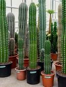Cactus Pecten Aboriginum