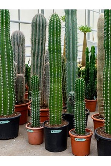 Cactus Pachycereus Pecten Aboriginum