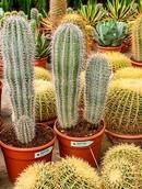 Cactus Pachycereus Pringlei