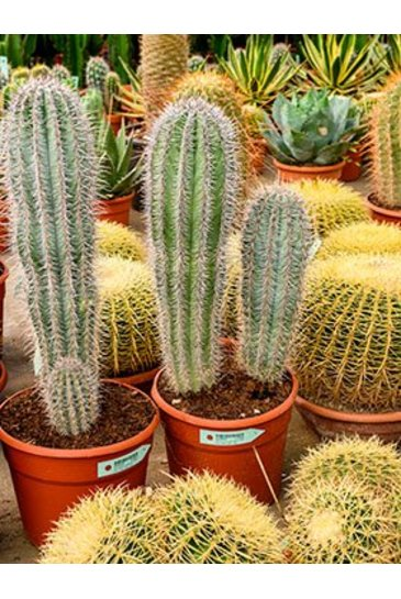 Cactus Pachycereus Pringley