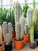 Cactus Pringlei
