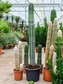 Cactus Pachycereus Weberii