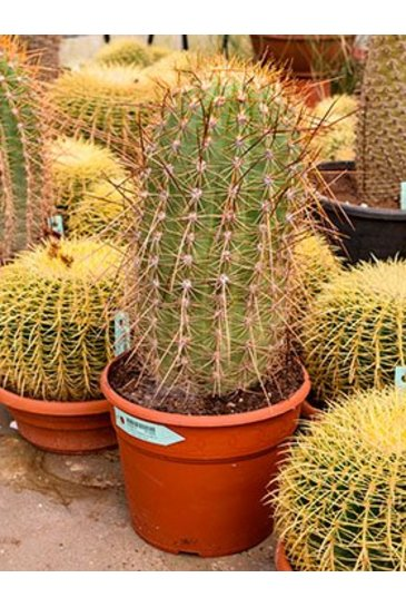Cactus Trichocereus Pasacana