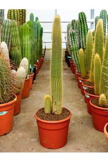Cactus Vatricania Guentheri