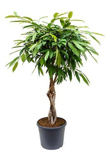 Ficus Amstel King (Vijgenboom)