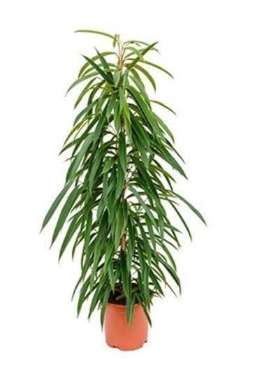 Ficus Alii (Vijgenboom)