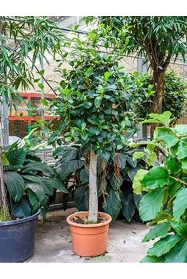 Ficus Australis (Vijgenboom)